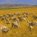 Lamas grazing