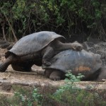 Galapagos tortoises doing what comes natural