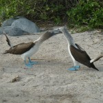 Mating call of the Blue footed Boobies