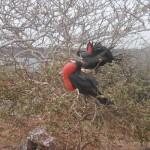 Frigate birds on nest