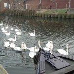 Swans surrounding the boat