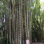 Massive bamboo canes