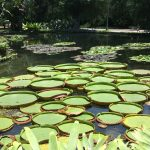 Large water lillies