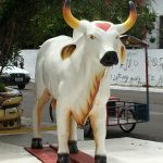 The famous bull