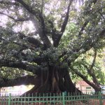 Amazing tree over 100 years old