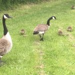 Canadian geese with their babies