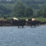 Cows grazing in water, so peaceful