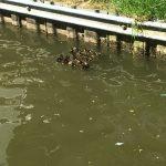 A family of ducks so cute!