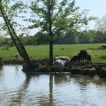 Cows enjoying the canal