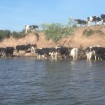 Cows trying to keep cool