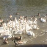 Some of the swans