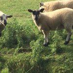 Plenty of sheep taking a paddle