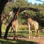 Giraffe enjoying his freedom